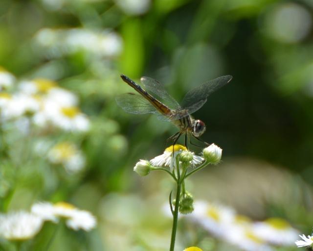 Buterflies, dragons 071c
