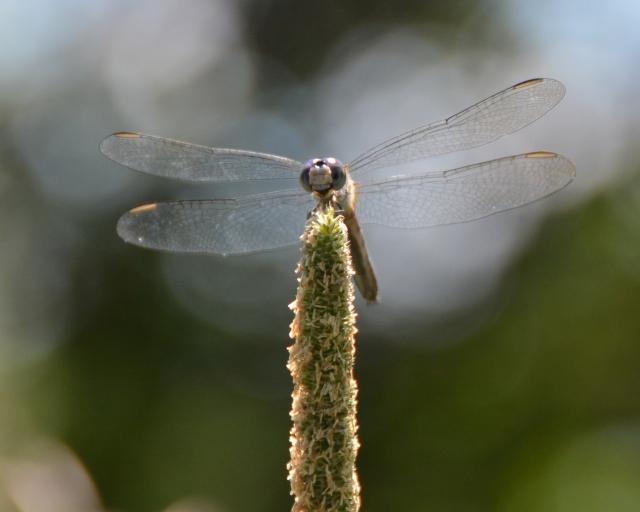Buterflies, dragons 074c