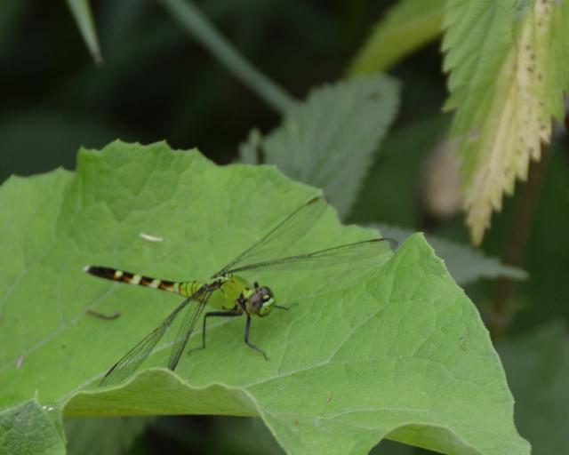 Dragonflies 047c