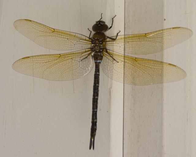 dragonfly 021c.jpg