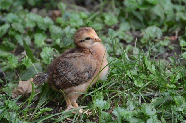 Chicks 049.JPG
